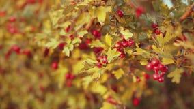 Kleine rode vruchten op de groene boom stock video