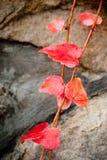 Kleine rode wijnbladeren royalty-vrije stock fotografie
