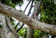 Kleine rood-Bekroonde spechtvogel in een boom - Cali, Colombia Stock Foto