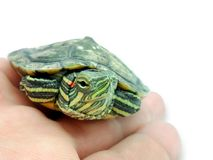 Kleine rood-eared schildpad op palm, close-up op witte achtergrond, royalty-vrije stock afbeelding