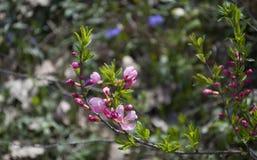 Kleine rosa Blumen auf den Niederlassungen Rosa Blumen des Frühlinges im Park auf den Niederlassungen Stockfotografie