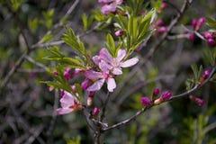 Kleine rosa Blumen auf den Niederlassungen Rosa Blumen des Frühlinges im Park auf den Niederlassungen Lizenzfreies Stockbild