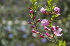 Kleine rosa Blumen auf den Niederlassungen Rosa Blumen des Frühlinges im Park auf den Niederlassungen Stockbilder