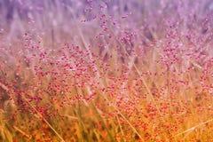 Kleine rosa Grasblume mit Tautropfen nach Regen neuem spr Lizenzfreies Stockbild