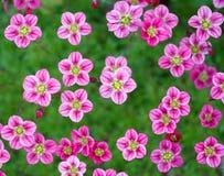 Kleine rosafarbene Blumen Stockfotografie
