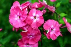 Kleine rosafarbene Blumen Lizenzfreie Stockfotografie