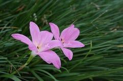 Kleine rosafarbene Blumen Lizenzfreie Stockbilder