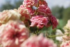 Kleine rosafarbene Rosen Stockfoto