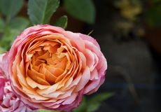 Kleine Rose Lizenzfreies Stockbild