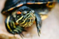 Kleine Rot-Ohr Schildkröte, Teich-Dosenschildkröte stockbild