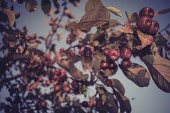 Kleine rote Äpfel Stockfotos