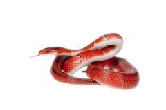 Kleine rote Bambusschlange lokalisiert auf Weiß Lizenzfreie Stockfotos