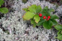 Kleine rote Beeren Lizenzfreies Stockfoto