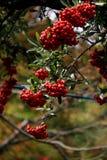 Kleine rote Beeren Stockfotografie