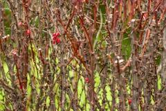 Kleine rote Beeren auf einer trockenen Niederlassung eines Busches Lizenzfreies Stockfoto