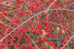 Kleine rote Beeren auf einer trockenen Niederlassung eines Busches Stockfotos