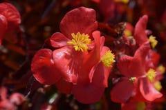 Kleine rote Begonienblumen einzeln aufgeführt Stockbilder