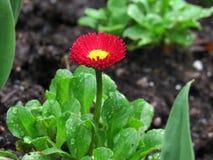 Kleine rote Blume, die mit Regen-Makro glitzert stockfoto