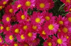 Kleine rote Blumen der Chrysantheme lizenzfreie stockfotografie