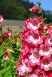 Kleine rote Blumen im Garten Stockbilder