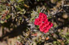 Kleine rote Blumen-Knospen Stockfotos