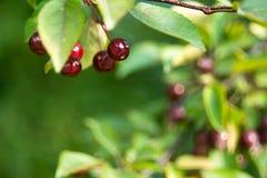 Kleine rote dekorative rote Äpfel auf dem Hintergrund von grünen Niederlassungen mit Blättern Lizenzfreie Stockfotos