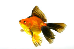 Kleine rote Fische getrennt auf Weiß Lizenzfreies Stockbild