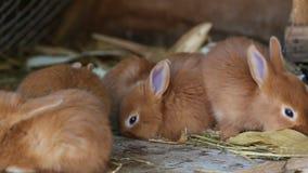 Kleine rote Kaninchen am Käfig stock video
