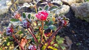 Kleine rote Miniaturrose im kalten und eisigen Herbstgarten stockbilder