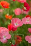 kleine rote Mohnblumen Stockbild
