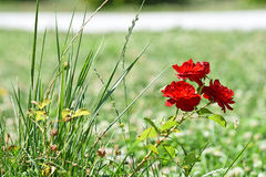 Kleine rote Rosen Lizenzfreies Stockbild