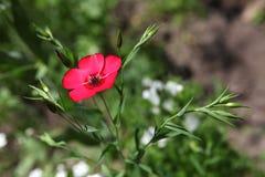 Kleine rote wilde Blume in der Wiese Stockbilder
