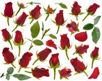 Kleine Rotrose knospt und Blätter und Blumenblätter in den verschiedenen Winkeln auf w Lizenzfreies Stockfoto