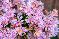 Kleine roze bloemen bij een bloemstruik Stock Fotografie