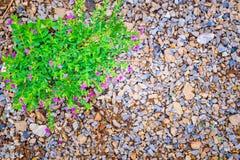 Kleine roze purpere bloem met het Groene blad groeien op kiezelstenen Royalty-vrije Stock Afbeeldingen