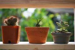 Kleine saftige Blumentöpfe dekorativ auf hölzernem Fenster mit warmem Licht des Morgens lizenzfreie stockbilder