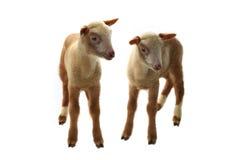 Kleine Schafe Stockfotos