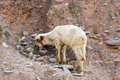 Kleine Schafe in den Bergen Stockfoto