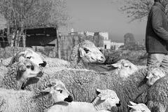 Kleine Schafe in den Bergen Stockfotos