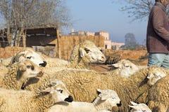 Kleine Schafe in den Bergen Lizenzfreies Stockbild