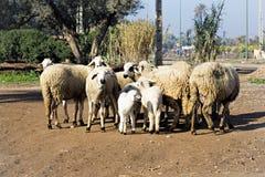 Kleine Schafe in den Bergen Stockbild