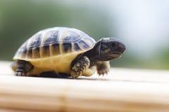 Kleine Schildkröte Lizenzfreies Stockbild