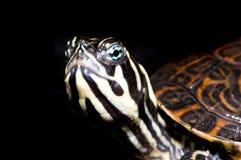 Kleine Schildkröte auf schwarzem Hintergrund Stockfotografie