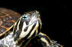 Kleine Schildkröte auf schwarzem Hintergrund Lizenzfreies Stockfoto