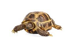 Kleine Schildkröte auf Weiß Stockbild