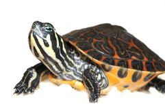 Kleine Schildkröte auf weißem Hintergrund Stockbilder