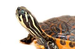 Kleine Schildkröte auf weißem Hintergrund Lizenzfreies Stockfoto