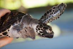 Kleine Schildkröte in den Händen Lizenzfreie Stockfotografie