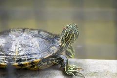 Kleine Schildkröte, die aus dem Zaun heraus gegenüberstellt Stockbilder