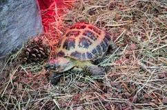 Kleine Schildkröte, die in das Heu im Kiew-Zoo kriecht lizenzfreies stockfoto